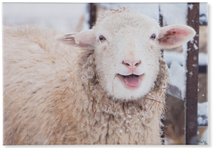 Smiling Sheep Canvas Print | Sturbridge Yankee Workshop